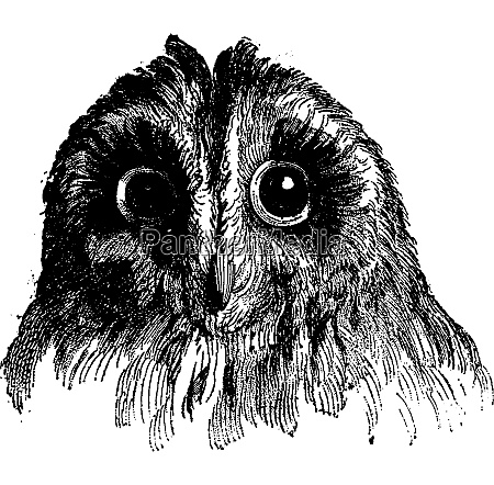 owl vintage engraving