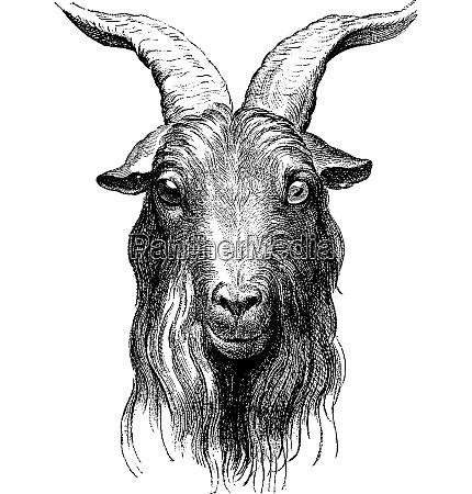 goat vintage engraving
