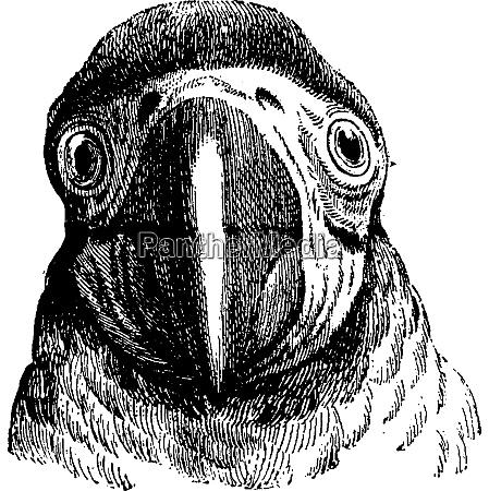 parrot vintage engraving