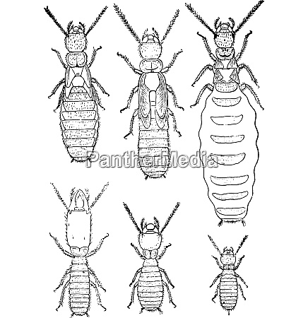 termites lucifugus of after c lespes