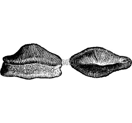 tooth of acrodus fish vintage engraving