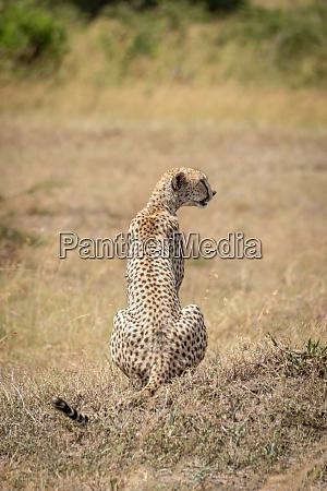 female cheetah sits turning head on