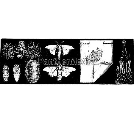 the silkworm vintage engraving