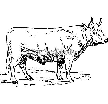 charolais ox vintage engraving