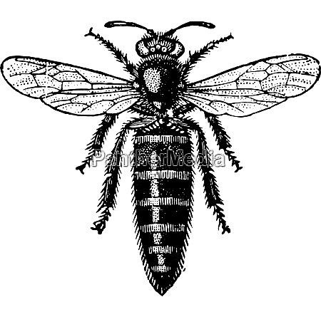 bee mother vintage engraving