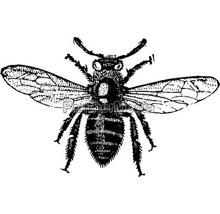 working bee vintage engraving