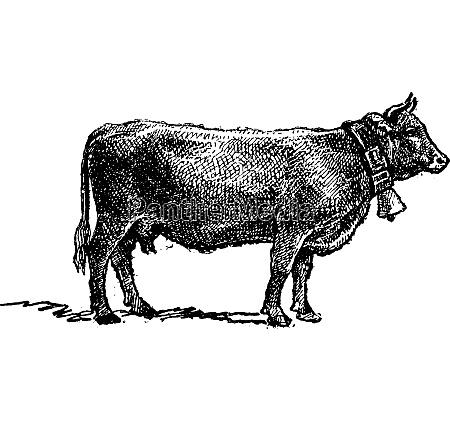 swiss cattle breed vintage engraving