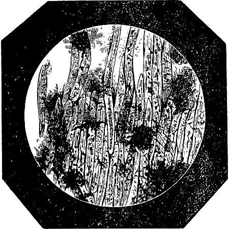 coffee pure epidermal cells vintage engraving