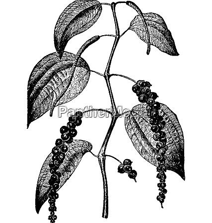 pepper vintage engraving