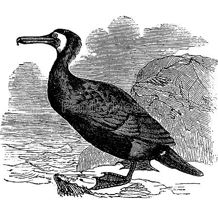 great cormorant or great black cormorant