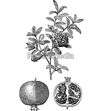 pomegranate double flowers and fruit vintage