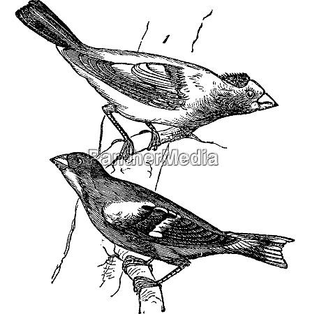 evening grosbeak hesperiphona vespertina or finch
