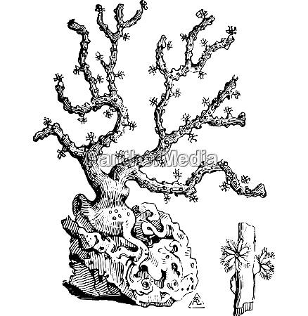 coral branch vintage engraving