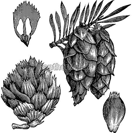 black spruce or picea mariana vintage