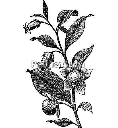 belladona vintage engraving