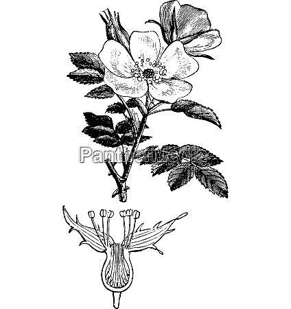 rose hips or rose haw vintage