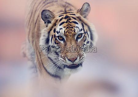 walking tiger portrait