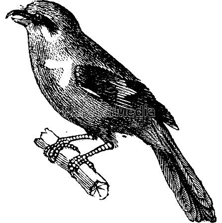 shrike vintage engraving