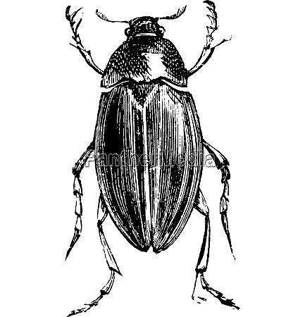 water scavenger beetle or hydrophilus spp