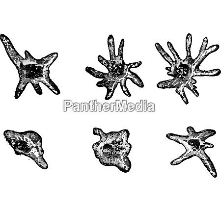 elementary diatomaceous amoebae vintage engraving