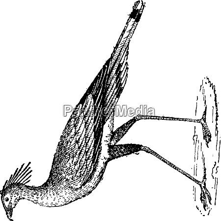 secretary bird or sagittarius serpentarius vintage