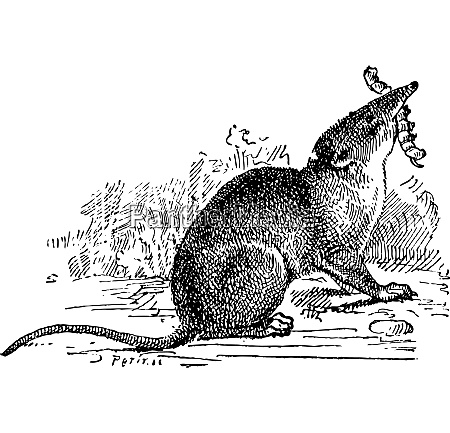 insectivorous mammal vintage engraving
