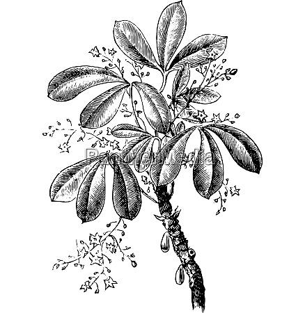 siphonia elastic vintage engraving