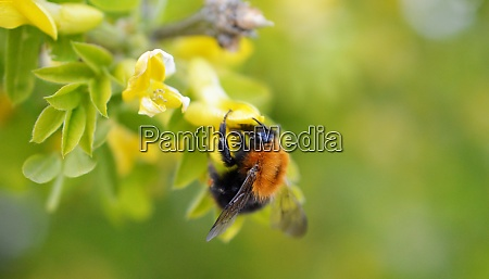 bumble bee collecting pollen on a
