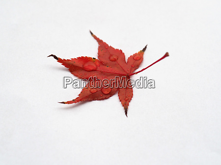 maple acer tree leaf