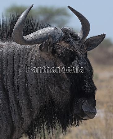 portrait shot of a wildebeest in