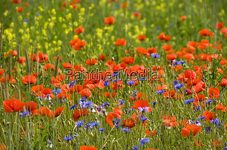 sea of poppies on a summery