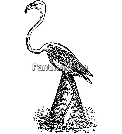 flamingo nest vintage engraving