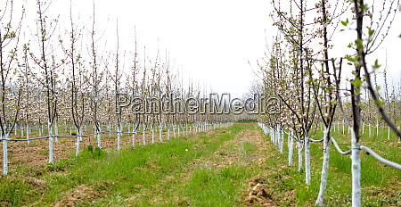 young blossoming apple trees in april