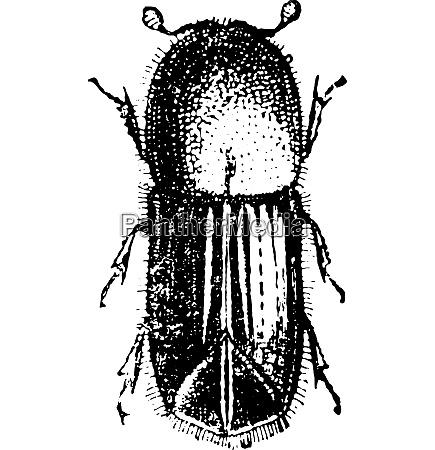 bark beetle vintage engraving