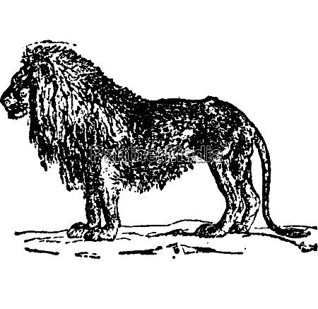 lion vintage engraving