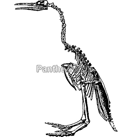 hesperornis skeleton vintage engraving