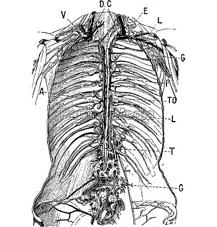 lymphatic system vintage engraving