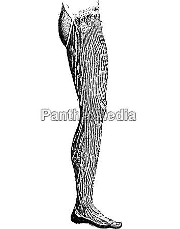lymphatic vessels of the leg vintage