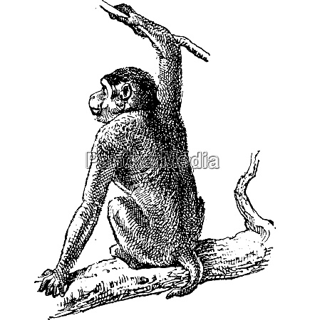 macaque or macaca sp vintage engraving