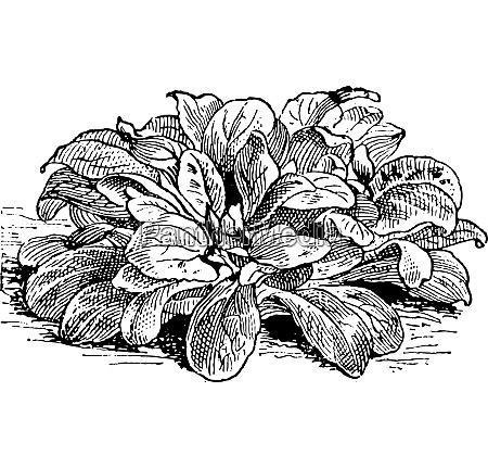 corn salad or valerianella locusta vintage