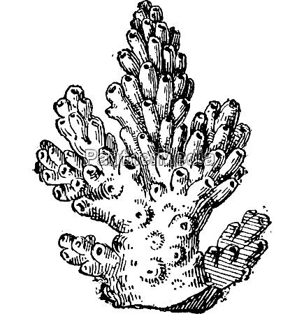 coral or anthozoa vintage engraving