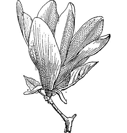 magnolia or magnolia sp vintage engraving