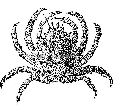 european spider crab or maja squinado