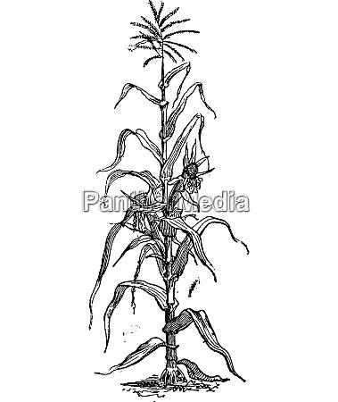 corn or zea mays vintage engraving