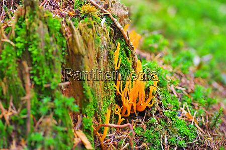 calocera furcata a fungal genus in