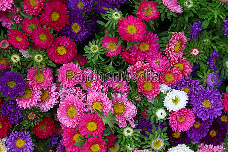 close up background of colorful marguerite