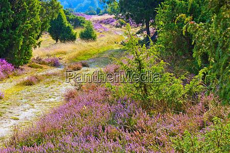landscape lueneburg heath in autumn near
