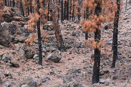 burned canary pine trees la palma