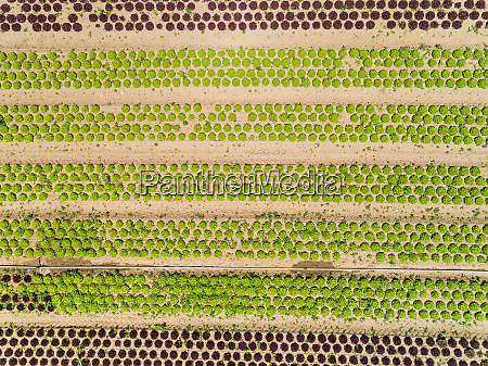 abstract aerial view of lettuce agriculture