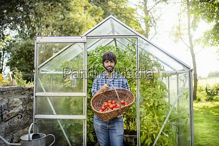 gardener picking ripe crimson crush tomatoes